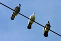 Three pigeons perched on a cable black and white Stock Photography