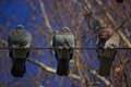 Three pigeons on a wire sitting wires bottom view Royalty Free Stock Image