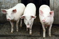 Three pigs in the farm Royalty Free Stock Photography