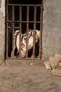 Three pigs sticking out their noses behind bars at a farm. Royalty Free Stock Photo
