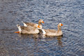 Three pilgrim australian settler geese also known as paddling together in water Royalty Free Stock Photos