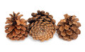 Three pine cone Stock Images