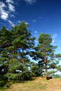 Three pine-tree (manor of Pushkin – Mihailovskoe) Royalty Free Stock Images