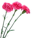 Three pink carnations still life on white background Stock Photography