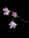 Three Pink Flowers On Dark Bac...