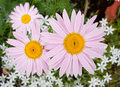 Three pink garden camomiles. Royalty Free Stock Photo