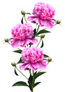 Three pink peony close up isolated on white background Royalty Free Stock Image