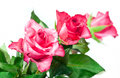Three pink roses close up of on white background Royalty Free Stock Photo