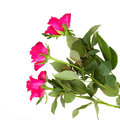 Three pink roses isolated white background Stock Photos