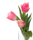 Three pink tulips isolated on white Royalty Free Stock Image