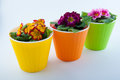 Three plastic flower pots and yellow, pink, purple primroses inside Royalty Free Stock Photo