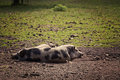 Three pot-bellied pigs resting. Royalty Free Stock Photo