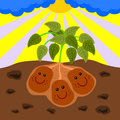 Three potatoes with smiling faces happily grows under the ground Stock Image