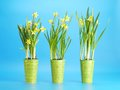 Three pots fresh yellow daffodils blue background Stock Photo