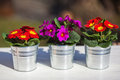Three primroses aluminium pots standing row side side Royalty Free Stock Image