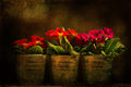 Three primroses flower pots lightened spotlight processed dark grunge texture chiaroscuro style Stock Image