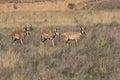 Three Pronghorn Antelope Bucks Royalty Free Stock Photo