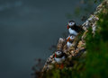 Three Puffins at bempton Cliffs, Yorkshire , UK Royalty Free Stock Photo