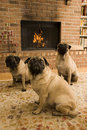 Three Pugs Stock Photography