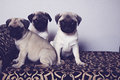 Three pugs on a pattern shot of Stock Photo