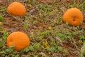 Three Pumpkins Growing