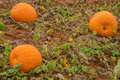 Three Pumpkins Growing Royalty Free Stock Photo
