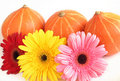 Three pumpkins and three colorful daisies  on whit Royalty Free Stock Photo