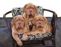 Three puppies in armchair. Royalty Free Stock Photography