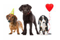 Three puppies celebrating a birthday Royalty Free Stock Photos
