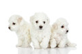 Three puppies of a lap dog isolated on white background Royalty Free Stock Photography