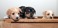 Three puppies peeking adorable blonde tan and black soft over edge of wooden crate Royalty Free Stock Photo
