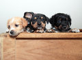Three puppies peeking adorable blonde tan and black soft over edge of wooden crate one with one ear cocked Stock Image