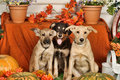 Three puppies  with pumpkins Royalty Free Stock Photo
