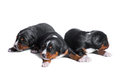 Three puppies sennenhund, two weeks old Stock Photo