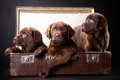 Three puppies in vintage suitcase Stock Photos