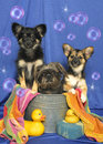 Three Pups in a Tub Stock Photo