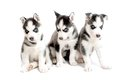 Three purebred siberian husky puppies isolated on white Royalty Free Stock Photos