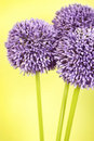 Three purple Alium flowers Stock Photography