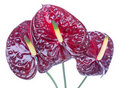 Three purple anthurium (Flamingo flowers) Stock Photography