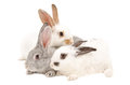 The three rabbits isolated on a white background Royalty Free Stock Photography