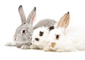 Three rabbits together isolated on white background Stock Photos