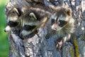 Three Raccoons