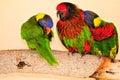 Three Rainbow Lorikeet birds, Florida Royalty Free Stock Photo