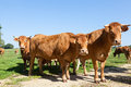Three red brown limousin beef cows looking curiously at the came standing grouped together camera on skyline Stock Photo