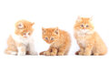 Three red cat cats on a white background Stock Image