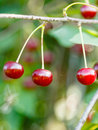 Three red cherry close up on tree branch Royalty Free Stock Photo