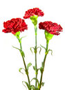 Three red flowers Stock Photography