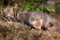 Three red fox kits vulpes vulpes sniff around near den captive animals Stock Image