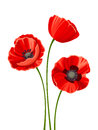 Three red poppies. Vector illustration.