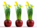 Three red pots with flourishing yellow daffodils Royalty Free Stock Photography